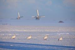 Fyra svanar som går i linje i holländskt vinterlandskap med väderkvarnar i bakgrund royaltyfria foton