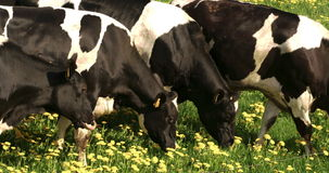 Fyra svartvita prickiga kor som äter odysseyen 7Q för 4K FS700 stock video