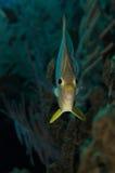 Fyra synade fjärilsfisken royaltyfri foto