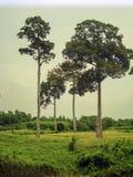 Fyra systrar av träd Arkivfoto