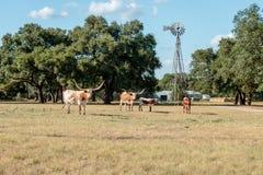 Fyra Texas Longhorns och en väderkvarn Royaltyfria Bilder