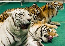 Fyra tigrar Royaltyfri Fotografi