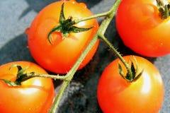 fyra tomater Fotografering för Bildbyråer