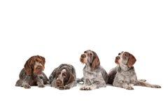 Fyra tyska Wirehaired pekarehundkapplöpning Fotografering för Bildbyråer