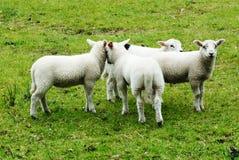 Fyra unga lambs royaltyfri bild