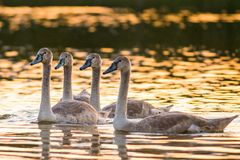 Fyra unga stumma svanar i sjön royaltyfri bild