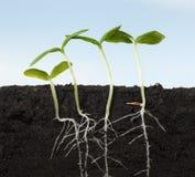 Fyra växande grönkålplantor Royaltyfri Foto
