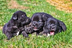 Fyra valpar på gräset Arkivfoto