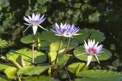 Fyra vatten Lillies Fotografering för Bildbyråer