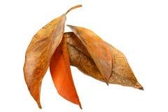 Fyra vissnande spräckliga sidor i Autumn Colors Royaltyfri Foto
