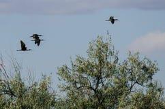 Fyra Vit-vände mot ibits som högt flyger ovanför träsket Arkivbild