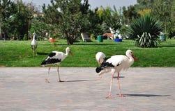 fyra vita storks Arkivfoton