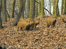 fyra wild piglets Royaltyfria Bilder
