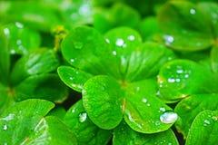 Fyrfotade växter av släktet Trifolium badade efter hällregnet i Petrich Arkivfoton