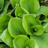 Fyrkant av gröna Swirly sidor royaltyfri fotografi