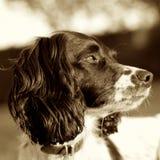 Fyrkant för Sepia för hund för Springerspaniel royaltyfria bilder