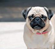 fyrkantig hundmops hålla ögonen på dig Royaltyfri Bild