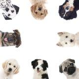 Fyrkantig ram av olika valpar, hundkapplöpning Royaltyfria Foton