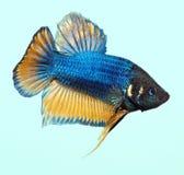 Gás de mostarda Betta Splenden Fish fotos de stock