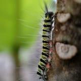 gąsienicowy kosmaty liść Chrupiący yummy posiłek potrzebują metamorfizacja kokonu fazę duży kropli zieleni liść makro- fotografii zdjęcie stock