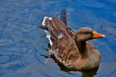 Gęgawej gąski dopłynięcie w jeziorze obraz stock