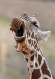 Gähnende Giraffe Lizenzfreie Stockfotografie