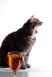 Gähnende graue Katze Stockfoto