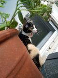 Gähnende Kaliko-Katze lizenzfreie stockfotografie
