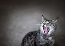 Gähnende Katze stockfotografie
