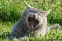 Gähnende Katze Lizenzfreies Stockfoto