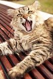 Gähnende Katze stockbilder