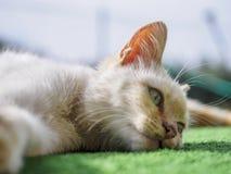 Gähnende Katze Lizenzfreie Stockfotografie