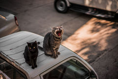 Gähnende Katzen Stockfoto