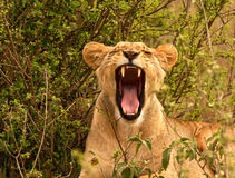 Gähnende Löwin in Kenia Stockfotografie