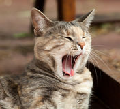 Gähnende Schildpatt-Tabby-Katze Lizenzfreies Stockfoto