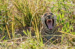 Gähnender afrikanischer Leopard, Süd-Luangwa, Sambia Stockbild