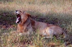 Gähnender asiatischer Löwe, der Reißzähne zeigt lizenzfreies stockfoto