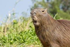 Gähnender Capybara Stockfoto