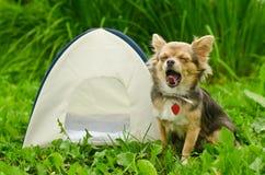 Gähnender Chihuahuahund, der nahe kampierendem Zelt sitzt Lizenzfreies Stockfoto