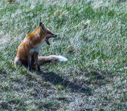 Gähnender Fox Lizenzfreie Stockbilder