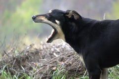 Gähnender Hund Lizenzfreies Stockbild