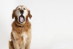 Gähnender Hund Lizenzfreies Stockfoto