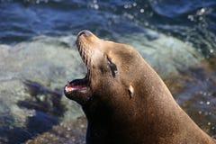 Gähnender Kalifornien-Seelöwe stockfoto