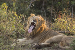 Gähnender Löwe 1 Stockbilder