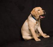 Gähnender Labrador-Welpe Lizenzfreies Stockbild