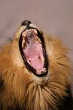 Gähnender männlicher afrikanischer Löwe Lizenzfreie Stockbilder