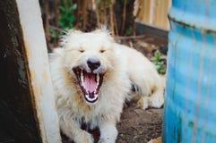 Gähnender nicht reinrassiger Hund, Porträt lizenzfreies stockfoto