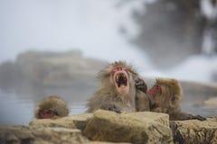 Gähnender Schnee-Affe in heiße Quellen Stockfotos