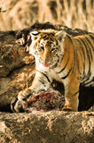 Gähnender Tiger stockfoto