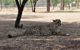 Gähnender und leckender Gepard stockbilder